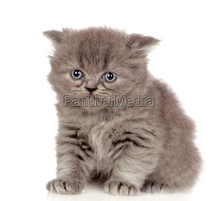 beautiful angora kitten with gray and
