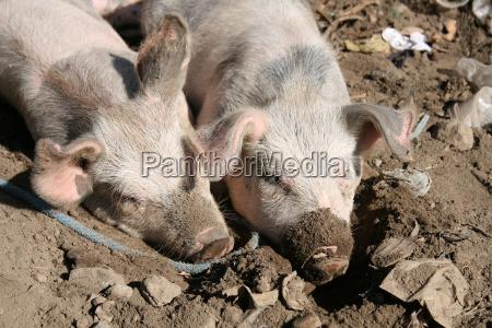 pigs in mud