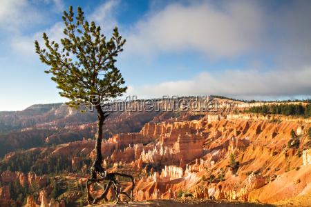 jupiter pine tree at bryce canyon