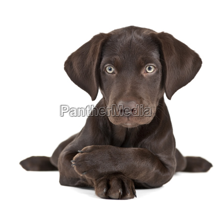 puppy on white background