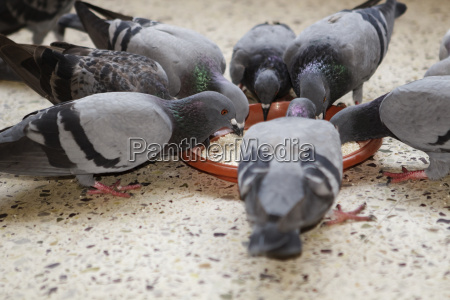 group of pigeons sharing feed