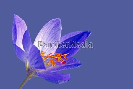 herbstbluehender crocus speciosus cassiope