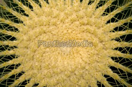 goldkugelkaktus schwiegermuttersitz
