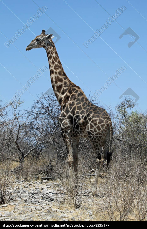 Giraffe M angola giraffe ...