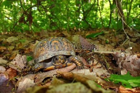 box turtle terrapene carolina