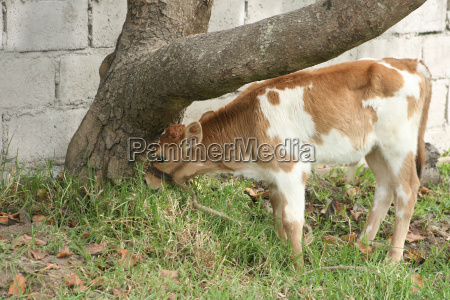 young calf grazing beside a tree