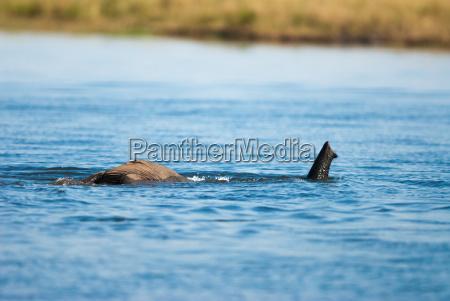 snorkeling african bush elephant