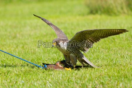 a falcon in captivity