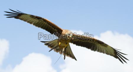 a long legged buzzard