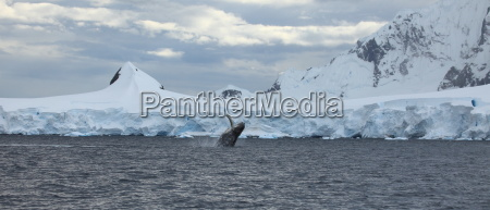 humpback whales in the antarctic