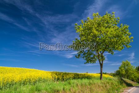 arvore estupro agricultura campo mecklenburg paisagem