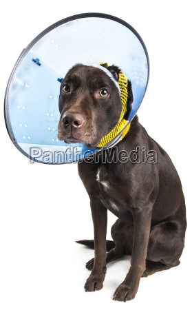 dog with cone and bandage