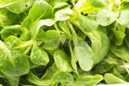 lambs lettuce