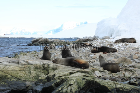 sea lions in antarctica