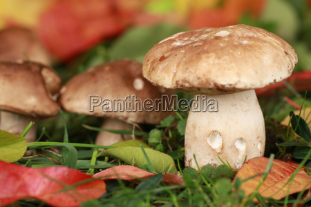porcini mushrooms growing in a forest