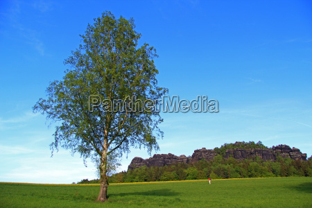 tree summer summerly birch mountain scenery