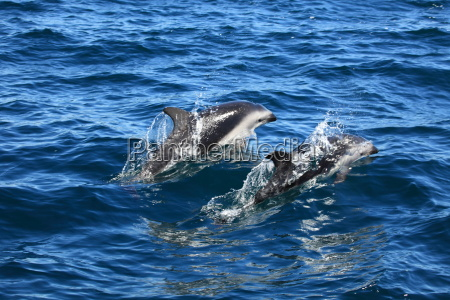 dolphins in the south atlantic
