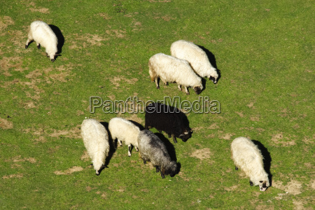 black sheep in a group of