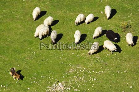 dog keeps a flock of sheep