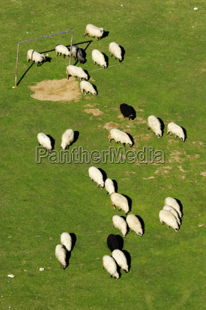 flock of sheep grazing on the