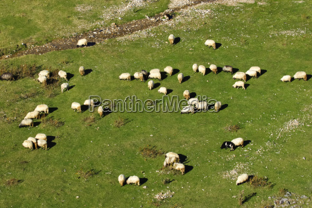 flock of sheep on mountain pastures