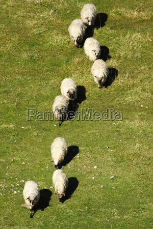 sheep in a row on the