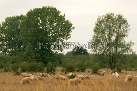 sheep in the pasture with dry