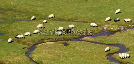 sheep on a mountain creek