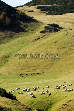 the mountain pasture and a flock