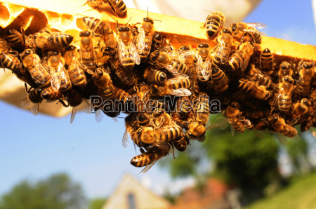 honeycomb honeycomb bee beekeeping bee bees