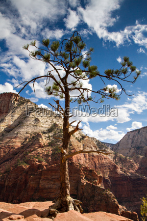 the pine at the rim