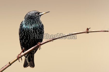 sturnus vulgaris the star