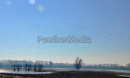 wild geese in winter quarters