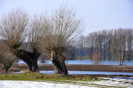 kopfweiden am niederrhein