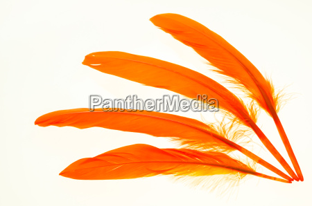 four orange duck feathers close up