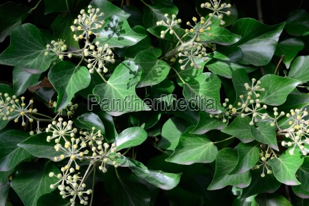 hedera helix facade greening with ivy