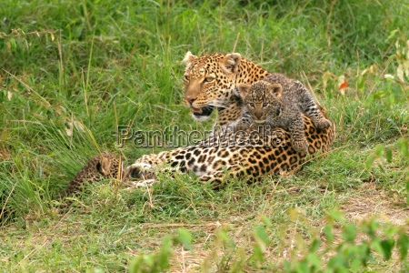 leopard with young animals