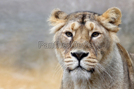 the lioness panthera leo