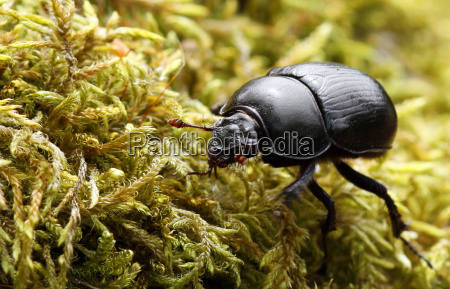 forest dung beetle on moss