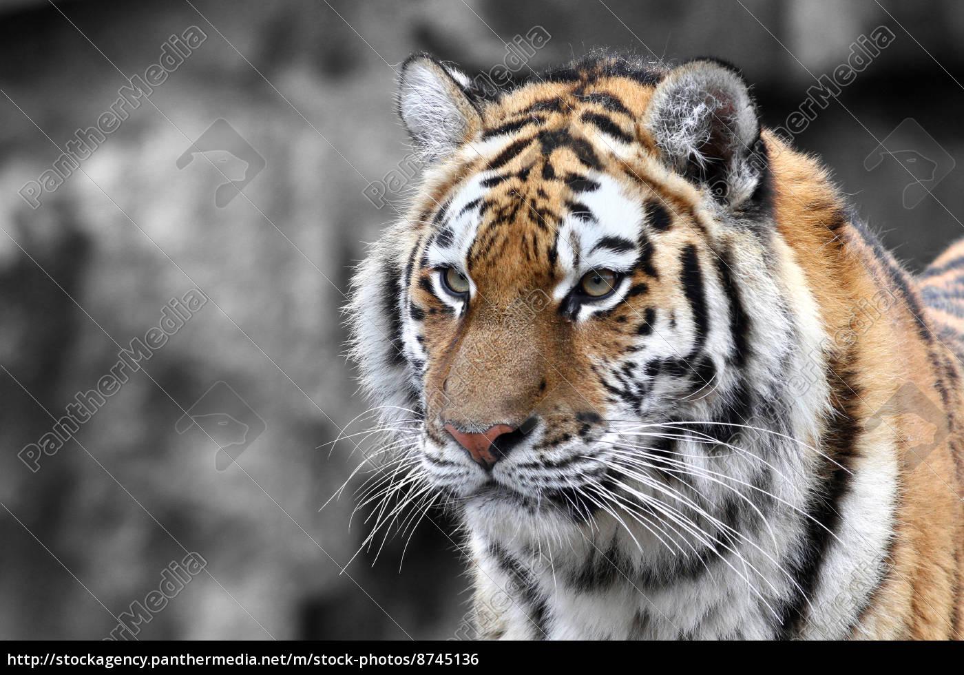 panthera, tigris, -, the, tiger - 8745136