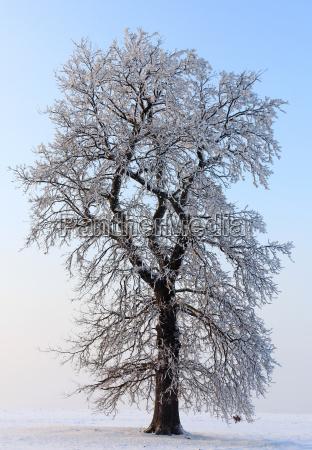 tree trees winter oak winter landscape