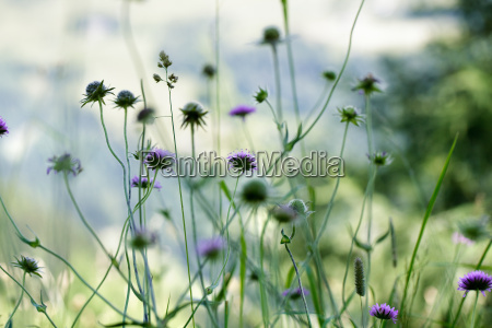 herb meadow in the alps
