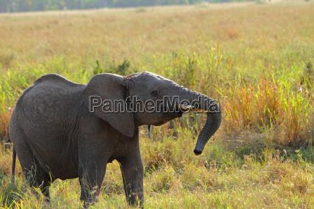 rebellious juvenile elephant