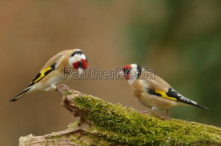 thistle finches or stieglitze
