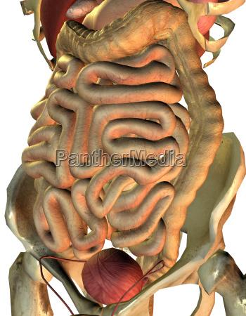 healthy internal organs from man