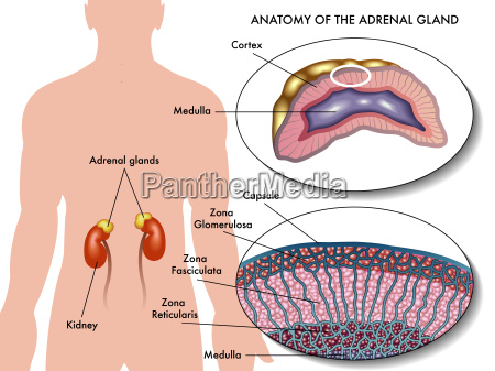 medical illustration of anatomy of adrenal