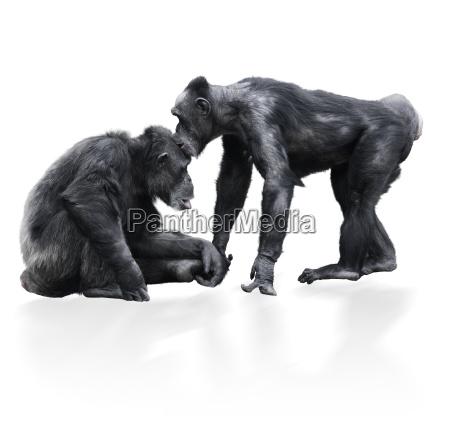 two black chimpanzee