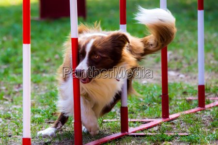agility dog with a red border