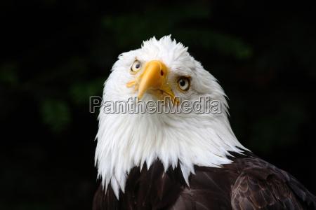 bird birds eyes raptor feathers beak