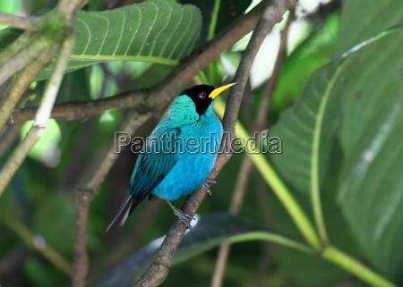 kappennaschvogel males